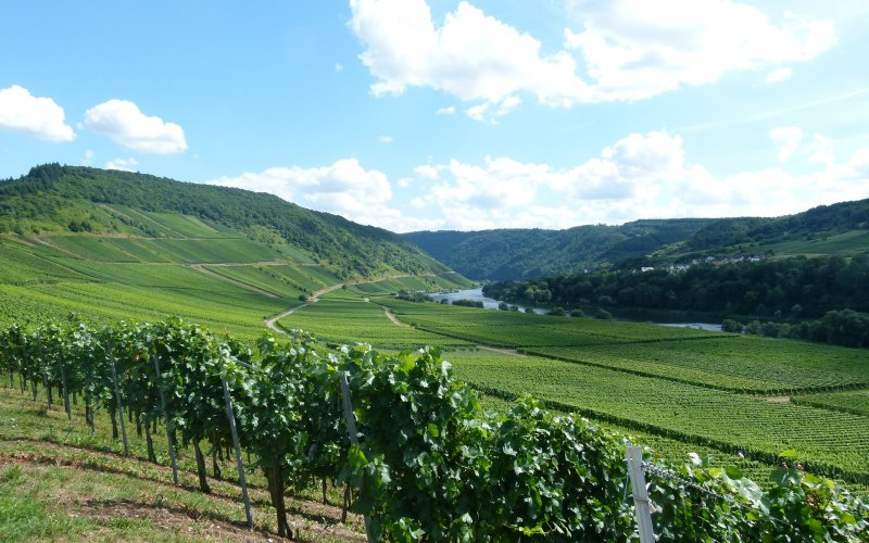 Rhine and Moselle by train | Vineyard